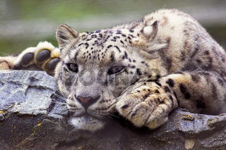 Snow Leopard In Captivity