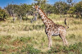 Giraffe, Etosha-Nationalpark, Namibia | giraffe, Etosha National Park, Namibia