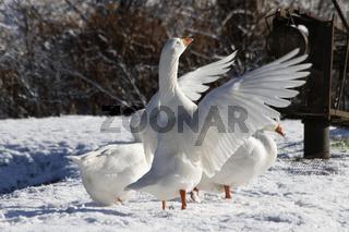 Hausgänse im Schnee