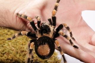 Spinne auf der Hand