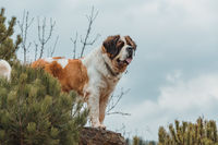 Portrait working breed of of St. Bernard dog