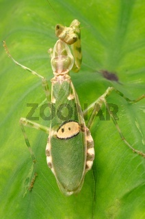 green flower praying mantis on leaf