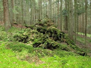 Wald / entwurzelter Baum / Wurzelstock