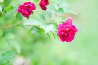 Macro shot of blooming rose bush over blurred background