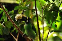 Toucan Bird eating