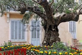 Saint-Maxime, Dorfplatz mit altem Olivenbaum