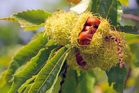 Close up of a ripe chestnut on a tree