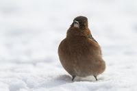 Buchfinkmännchen im Schnee