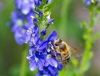 Bee on a blue saga flower blossom