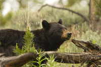Black Bear (Ursus americanus) in the wild