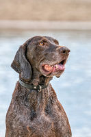Detailed German Shorthaired Pointer head, GSP dog sits on the beach of a lake during a summer day. He stares into the distance, in side view, water in background