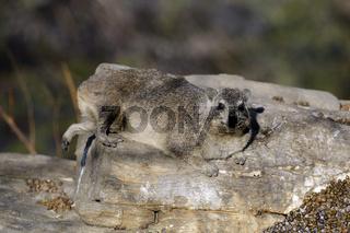 Klippschliefer (Procavia capensis) sonnen sich in der Abendsonne