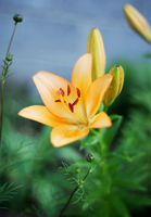 Close up on Yellow Lily