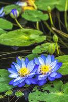 Semiwon Garden Lotus Blue Flowers