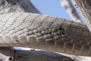 Schwarze Mamba (Dendroaspis polylepis)