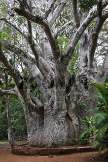 Afrikanischer Affenbrotbaum - Adansonia digitata