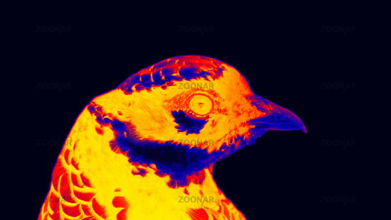 Reeve's Pheasant (Syrmaticus reevesii, male) in scientific high-tech thermal imager