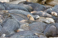 Herd of Bornean bearded pigs resting together at sunny day