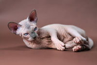 Lovely blue mink and white color Sphinx Cat 4 months old lies on brown background