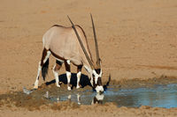 A gemsbok antelope (Oryx gazella) drinking water