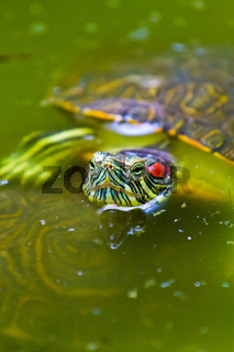 Red eared Mexican Turtle