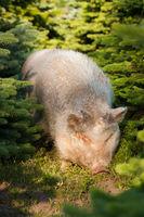 Schwein zwischen Tannen