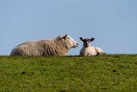 Schafe mit Lämmern auf dem Deich von Westerhever bei St. Peter-Ording