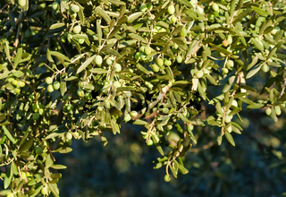 Young Olives On Tree