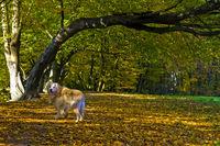 Golden Retriever beim Herbstspaziergang