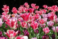Rot weiße Tulpen