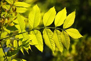 Fraxinus excelsior, Esche, Ash, Blatt