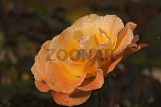 Rosenblüte mit Tautropfen