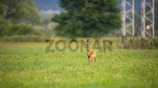 Roe deer moving on grass next to electric tower in summer