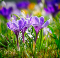 Spring meadow with various crocus flowers