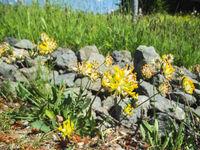 Anthyllis vulneraria Wundklee with stones