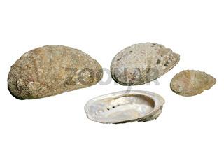 Seeohren (Haliotis tuberculata), freigestellt