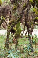 Harenna Forest biotope in Bale Mountains, Ethiopia