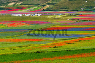 Lentil flowering with poppies and cornflowers in Castelluccio di Norcia, Italy