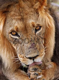 Kalahari-Löwen im Kgalagadi Transfrontier National Park, Südafrika; lions in south africa