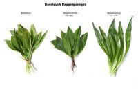 Baerlauch-Doppelgaenger