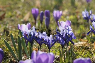 Iris reticulata, Netziris, Dwarf iris