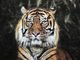 Panthera Tigris II