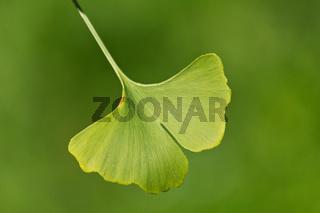 Close-up on ginkgo biloba tree leaves