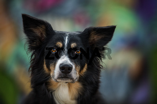 Border collie dog with colorful background