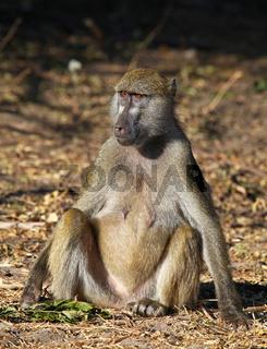 Steppenpavian, Gelbe Paviane, Chobe, Botswana; papio cynocephalus; savanna baboons, Chobe, Botsuana