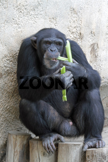 Schimpanse 004