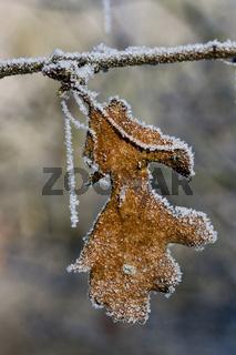 gefrorenes Eichenblatt am Ast