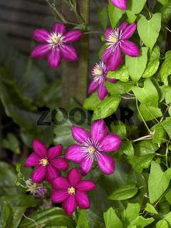 intense Clematis flowers
