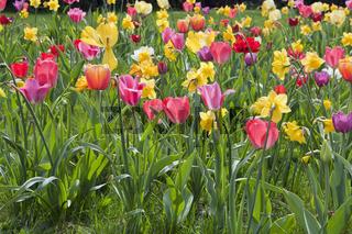 Bluemnbeet mit Tulpen und Narzissen