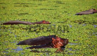 Hippos im South Luangwa Nationalpark, Sambia; Hippos at South Luangwa, Zambia